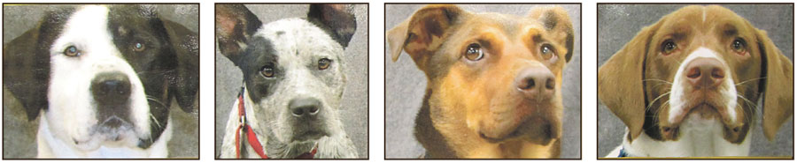 The four dogs in program – Titan, Blue, Casey, and Simon – appear in a lineup of sorts, posted on a prison bulletin board.    Ken: grab the dogs from the photo and delete the rest.