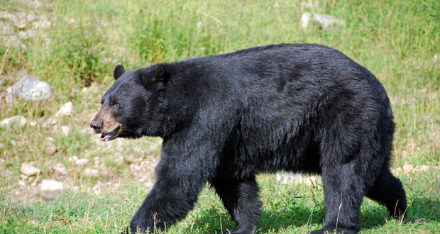 featured-black-bear-in-NC-620x330