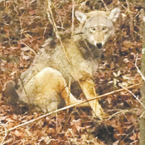 Red wolf in trao,
