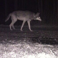 A trail cam captured this image of a collared Red Wolf on Mr. Ferebee's farm, which is adjacent to the Alligator River National Wildlife Refuge.