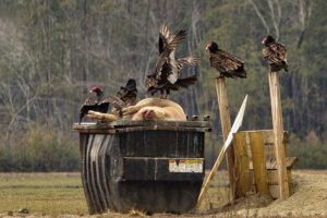 Buzzards and Dead Swine - NC February 2014