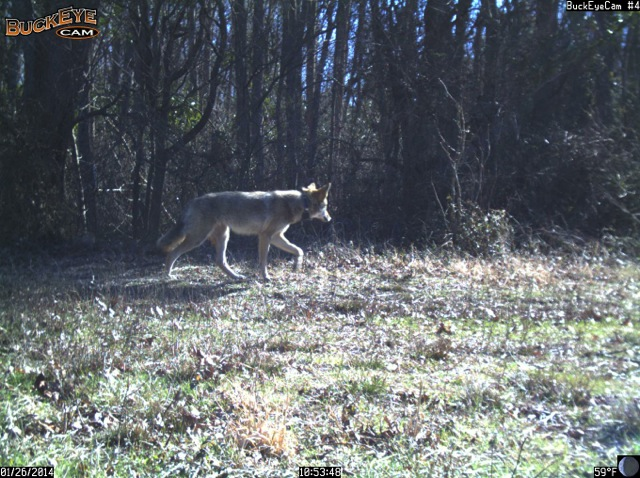 A trail camera on a large farm owned by Jett Ferebee records images of red wolves, coyotes, and hybrids known as coy-wolves – created by inbreeding between the two species.