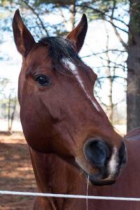 Conner, 12 yr old gelding in care of USERL.