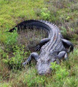 4-NN-Alligator-pic