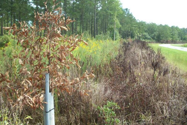 """David Daniels, who manages forestland owned by his father Bud, reported damage to several White Oaks, which are among numerous trees – originally planted well off the state-owned right-of-way – near Alligator Loop Road in Stonewall. """"I planted them when they were one-foot saplings about four years ago,"""" said Daniels, adding that he used PVC 'tree tubes' to ensure their survival. Daniels recently tracked down Greg Rayburn in the Department of Transportation at (252) 830-3146. """"Thus far they seem to be very cooperative,"""" chuckled Daniels, """"but I haven't gotten anything in writing yet."""""""