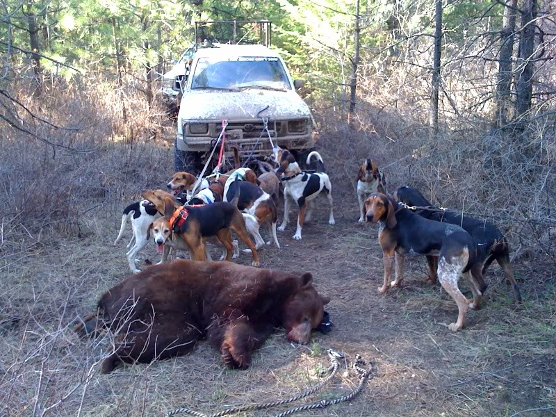 Debate Over Bear Hunting With Dogs Could Get Vicious The