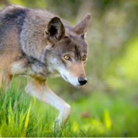 Tillis: 'End The Red Wolf Recovery Program'