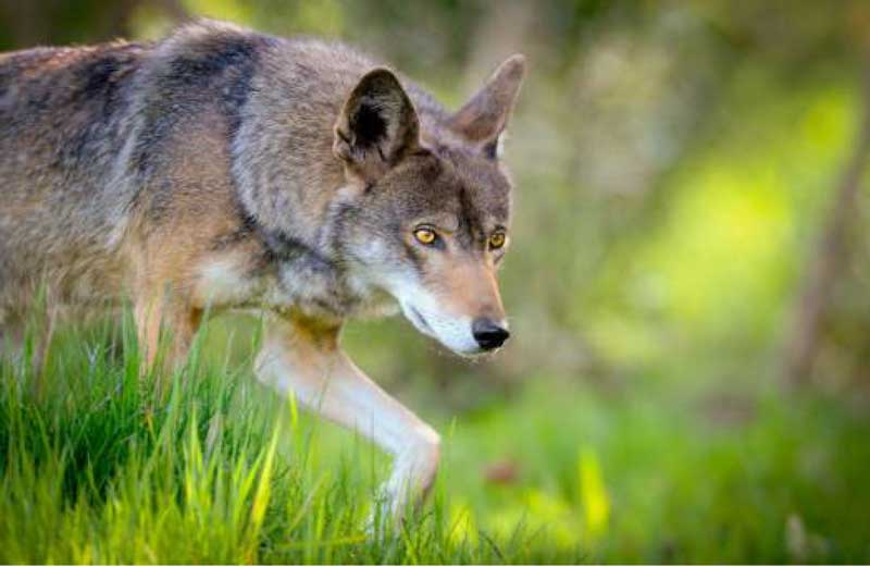 Tillis: 'End The Red Wolf Recovery Program' - The County Compass